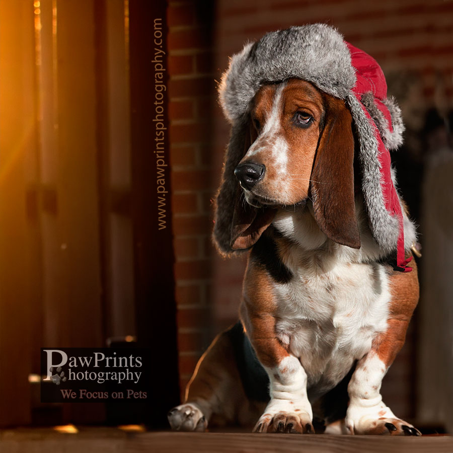 Basset Hound with hat
