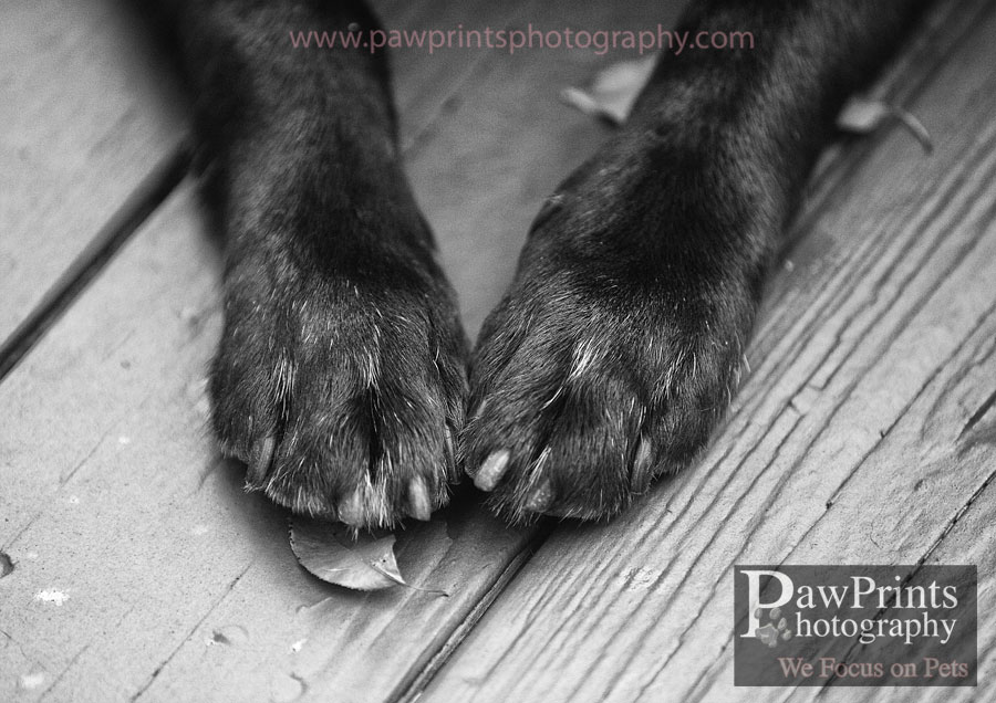 black_lab_paws