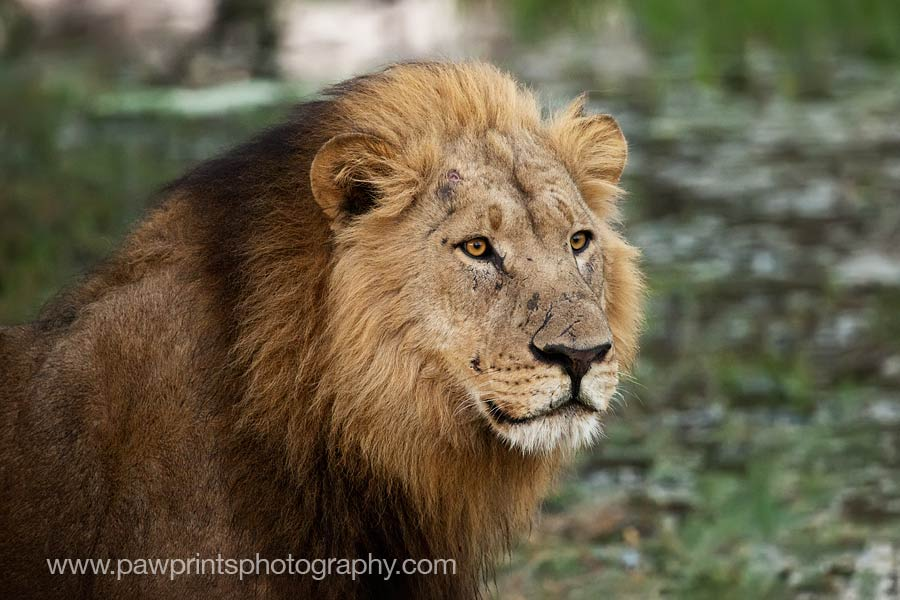 lion_face_MG_9256