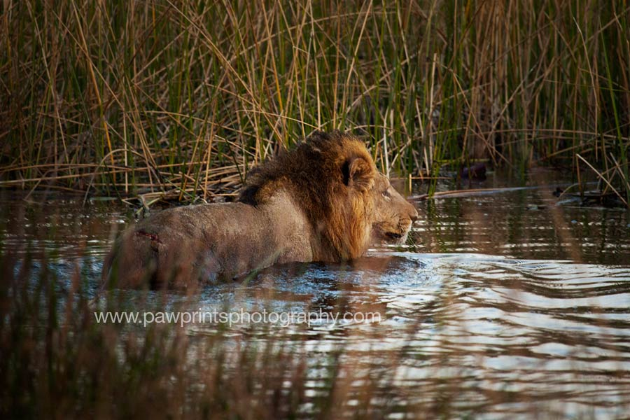 lion_in_water_MG_9265