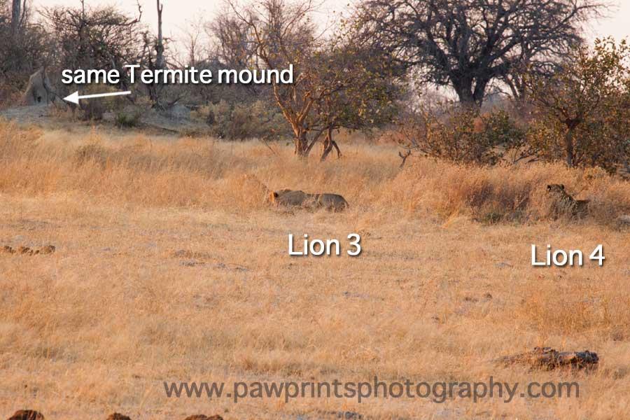 lion_hunt_2
