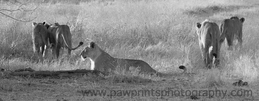 lion_hunt_regroup_bw