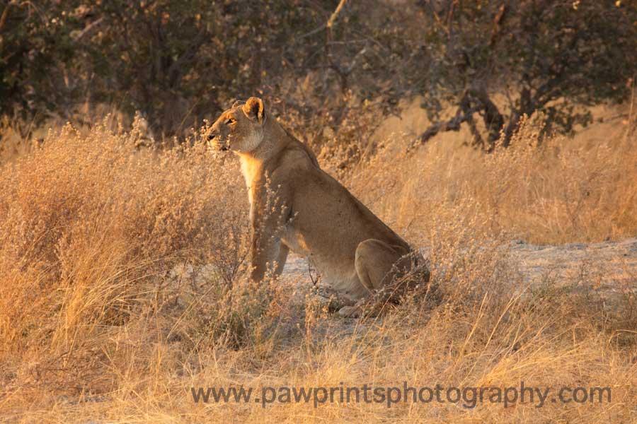 lion_hunt_single