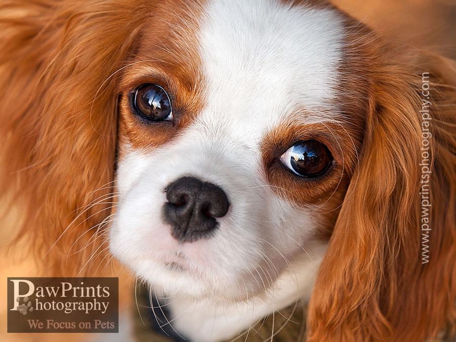 cavalier_puppy_face