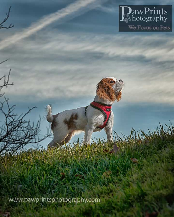 cavalier_puppy_standing_up